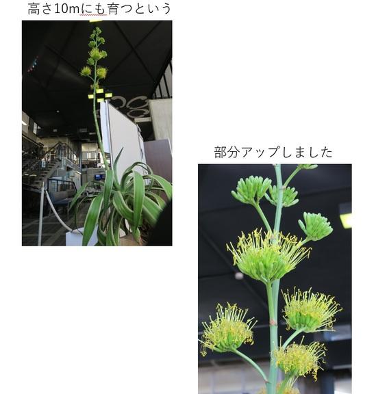 珍しい中南米熱帯地域に咲く花2.jpg