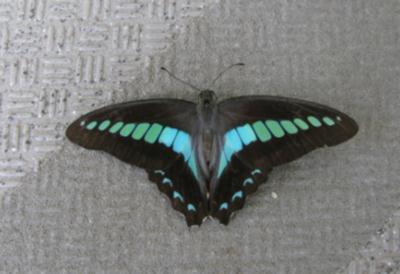 蝶か1.jpg