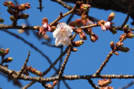 1上平様桜.jpg